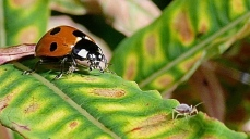Ladybird close-up