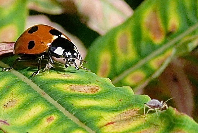 Ladybird close-up